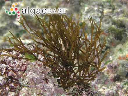Sargassum filipendula var. contractum J.Agardh