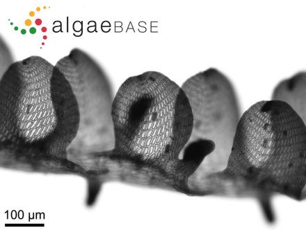 Sargassum mathiesonii Kilar