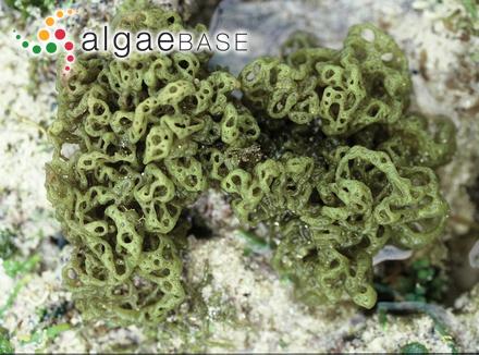 Pseudotetraspora marina Wille