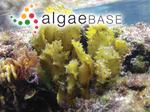 Sargassum crassifolium J.Agardh