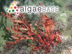 Galaxaura diesingiana Zanardini