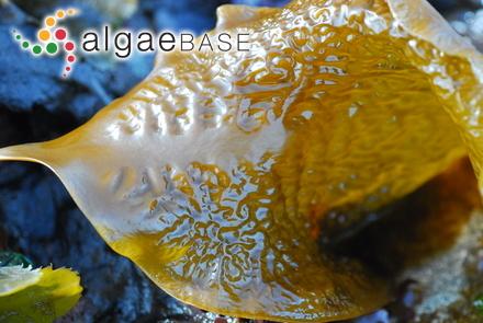 Cladophora corallicola Børgesen