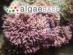 Corallina rugosa J.Ellis & Solander