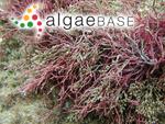 Corallina cylindrica J.Ellis & Solander