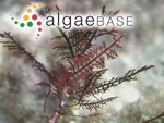 Gelidium pteridifolium R.E.Norris, Hommersand & Fredericq