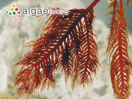 Trichosolen blomquistii (Díaz-Piferrer) D.M.John