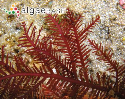 Trichosolen duchassaingii (J.Agardh) W.R.Taylor