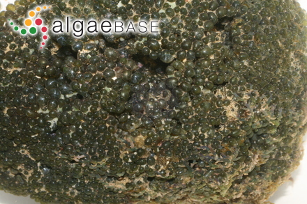 Codium carolinianum Searles
