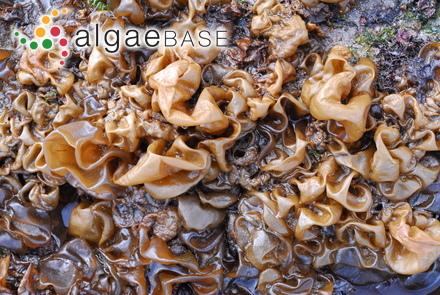 Codium isthmocladum subsp. clavatum (Collins & Hervey) P.C.Silva