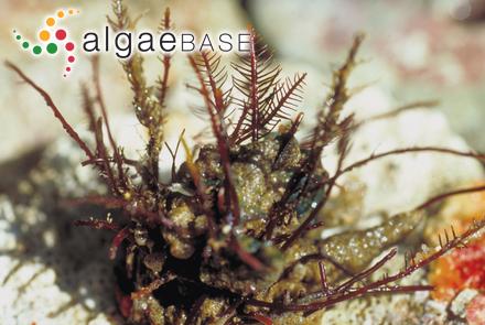 Caulerpa brachypus var. brasiliana A.B.Joly & Semir