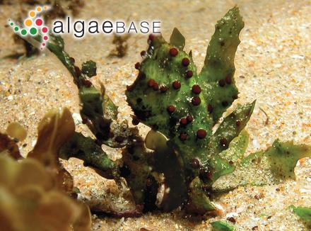 Caulerpa cupressoides f. intermedia Weber Bosse