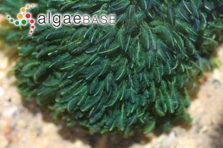 Caulerpa paspaloides var. phleoides (Bory) J.Agardh
