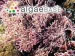 Corallina flabellata Kützing