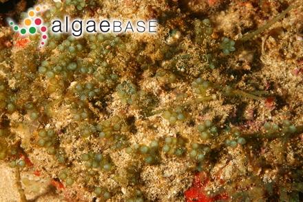 Avrainvillea nigricans f. floridana D.S.Littler & Littler