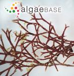 Jania pedunculata var. adhaerens (J.V.Lamouroux) A.S.Harvey, Woelkerling & Reviers