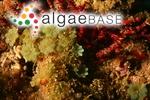 Caulerpa andamanensis (W.R.Taylor) Draisma, Prudhomme & Sauvage