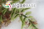 Caulerpa lentillifera J.Agardh
