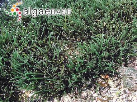 Halimeda incrassata f. gracilis Børgesen