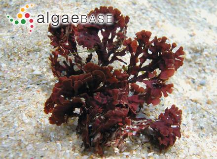 Penicillus capitatus f. elongatus (Decaisne) A.Gepp & E.S.Gepp