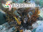 Sargassum elegans Suhr
