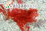 Sphaerococcus sanguineus (Hudson) Wahlenberg