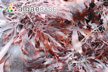 Rhipiliopsis stri (Earle & J.R.Young) Farghaly & Denizot