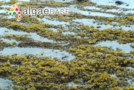 Udotea cyathiformis var. flabellifolia D.S.Littler & Littler