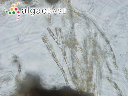 Acetabularia parvula Solms-Laubach