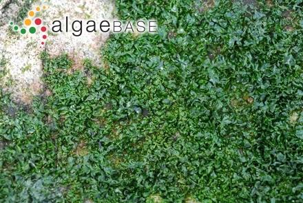Acetabularia polyphysoides P.Crouan & H.Crouan