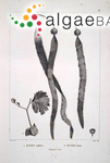 Caulerpa vitifolia (Bonpland) J.V.Lamouroux
