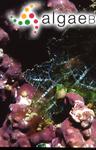 Microdictyon okamurae Setchell