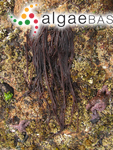 Ulva elminthoides (Velley) Withering