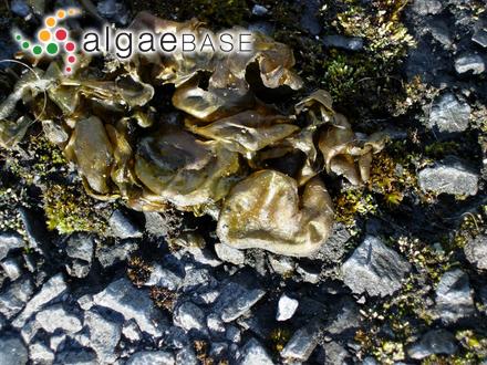 Galaxaura divaricata (Linnaeus) Huisman & R.A.Townsend