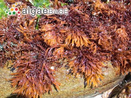 Scinaia australis (Setchell) J.M.Huisman