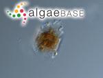 Odontella aurita (Lyngbye) C.Agardh