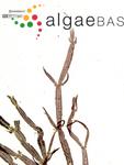 Caloglossa ogasawaraensis Okamura
