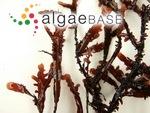 Gelidium japonicum (Harvey) Okamura