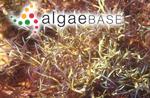 Platysiphonia hypneoides (Harvey) Womersley & Shepley