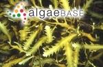 Platythalia quercifolia (R.Brown ex Turner) Sonder