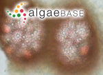 Melobesia membranacea (Esper) J.V.Lamouroux