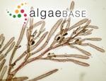Monosporus pedicellatus (Smith) Solier