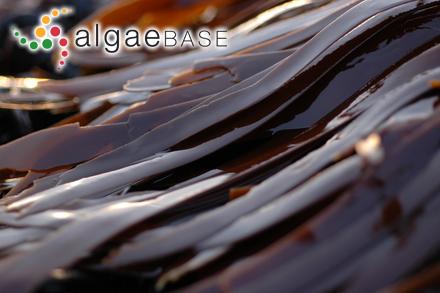 Dasyclonium adiantiforme (Decaisne) Scagel