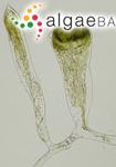 Codium fragile (Suringar) Hariot