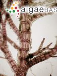 Neosiphonia harveyi (Bailey) M.-S.Kim, H.-G.Choi, Guiry & G.W.Saunders