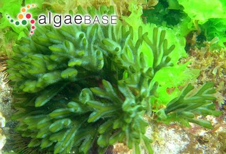 Alethocladus corymbosus (Dickie) Sauvageau