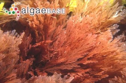 Sargassum skottsbergii Sjöestedt