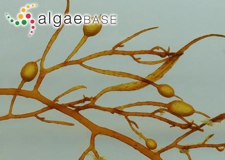Naccaria hawaiiana I.A.Abbott