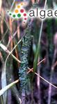Gayralia oxysperma (Kützing) K.L.Vinogradova ex Scagel <i>& al.</i>