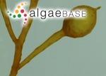 Sargassum filipendula C.Agardh