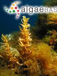 Sargassum vulgare C.Agardh